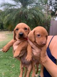 Título do anúncio: Vendo lindos filhotes de Basset dachshund
