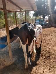 Título do anúncio: Vendo duas vaca de leite