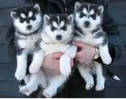 Lindos filhotes de Husky Siberiano puros otima linhagem !!