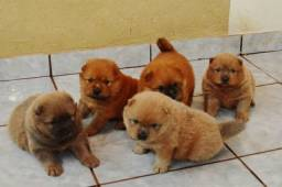 Super fofos filhotes de Chow Chow a pronta entrega varias cores !!