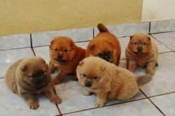 Lindos filhotes de Chow Chow com 45 dias já vermifugados !!