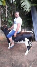 Mini vaca jovem