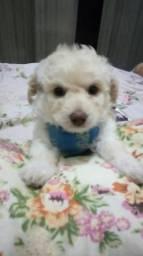 Cachorro macho poodle toy