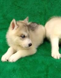 Husky siberiano o cão mais lindo do mundo