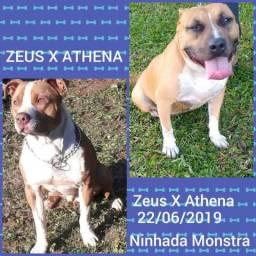 Filhotes de pitbull Zeus X Athena Genética Top