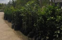 Kit 4 Frutíferas: Laranja Bahia, Laranja Kinkan, Limão Taiti e Ponkan