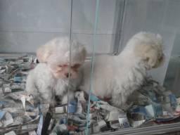 Maltês, somos a unica rede com clinicas veterinarias, chamar what's
