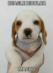 Beagle receba em sua casa