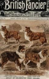 Filhotes Rough Collie (Lassie)