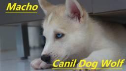 Husky Siberiano Filhotes TOP - Pedigree - Canil Dog Wolf