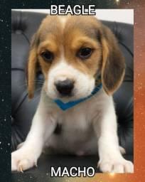 Belisssimo beagle esperando por você
