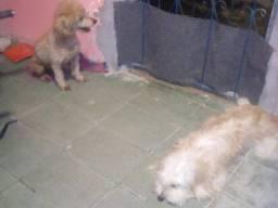 Maltês  com poodle