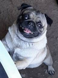 Pug macho adulto