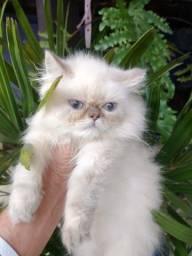 Gato Persa Linhagem Top! - pedigree