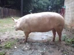 Porcos de raça para reprodução