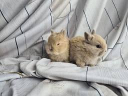 Coelhos para Pet - Várias raças Anões e mini - Criação Profissional