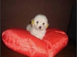 Poodle toy femea super promoção so hoje