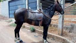 Cavalo paulista vendo ou troco