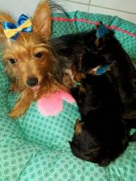 Vendo Filhotes de Yorkshire Terrier