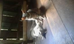 Filhote de gata angora