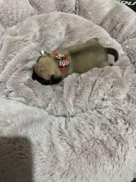 Pugs disponível com pedigree/ linhagem nabucos / bem pequenos patas grossas e baixinhos