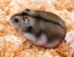 Hamster anão russo (chinês)