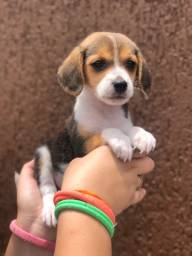 Lindo filhote de beagle macho para você hoje