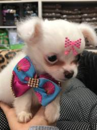 Chihuahua fêmea micro 3 meses