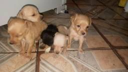 Filhotes de pitcher com poodle