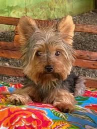 Yorkshire terrier mini procura namorada