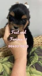 Temos para venda lindos filhotes de Yorkshire Terrier