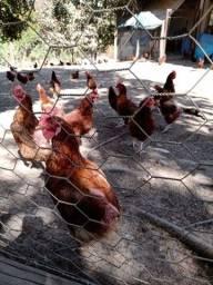 Lote galinha caipira poedeira Embrapa 51 pico de produção