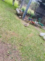 2 Patos por 50,00