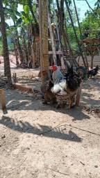 Título do anúncio: Ovos ferteis de galinha Brahma 12 ovos