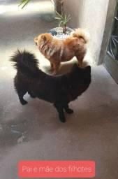 Vende-se 03 lindos cachorros Chow-Chow
