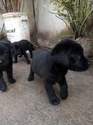 Título do anúncio: Cachorro com pedigree