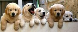 Título do anúncio: Adquira seu filhote de Golden com segurança, procedência e pedigree gratuito