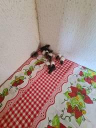Filhotes de rato twister mansos e fofos tenho macho e femias