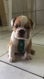 Bulldog ingles