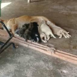 Cachorrinhos de raça golden retrivier