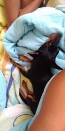 Vende se uma cachorra da raça pinscher, prenha de 2 meses
