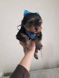 Yorkshire Terrier porte pequeno