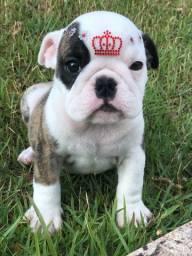Bulldog inglês fêmea ótimo padrão