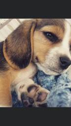 Beagle dóceis prontos para você hoje