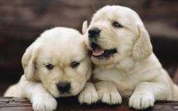 Maravilhosos!! Filhotes de Golden com Garantia
