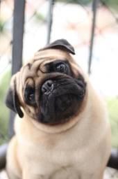 Procuro uma Pug fêmea para namorar!!
