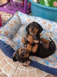 Filhotes de duchshund