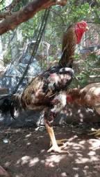 Vendas de pintinhos e aves IG. Americana SP