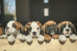 Boxer com suporte veterinário gratuito