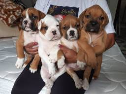 Lindos filhotes de Boxer otima linhagem super fofos !!